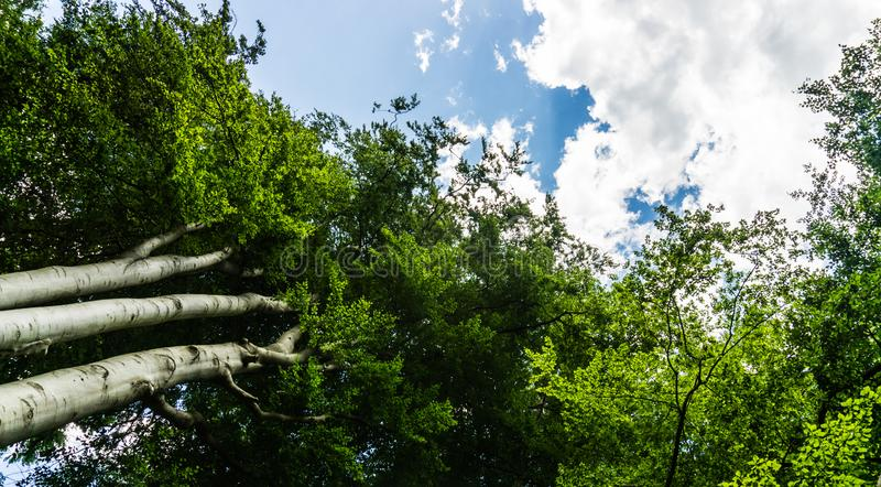 Beech tree tops in forest. Green beech tree tops in forest stock image