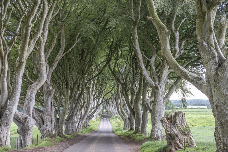 Beech Tree tunnel. An image of a tunnel of Beech trees in Northern Ireland royalty free stock photos