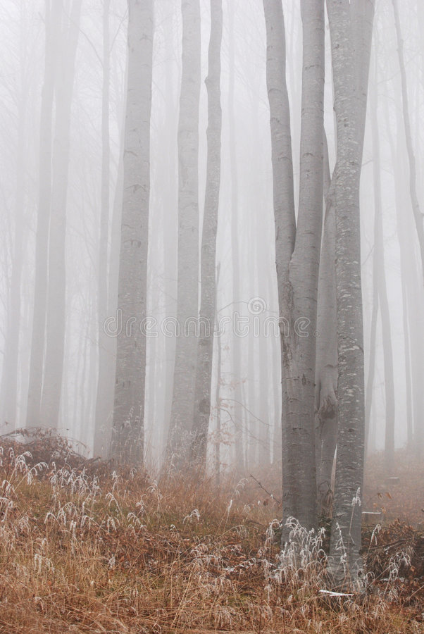 Beech Trees stock images