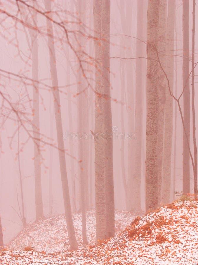 Beech trees stock photo