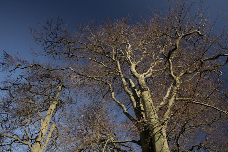 Beech trees aDisley, Stockport, Darbyshire Englandgainst blue sky Lyme Park. Beech trees a Disley, Stockport, Darbyshire Englandgainst blue sky Lyme Park stock photography