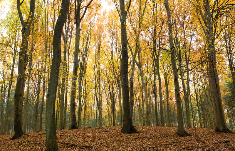 Download Beech trees in autumn stock photo. Image of fall, october - 16779956