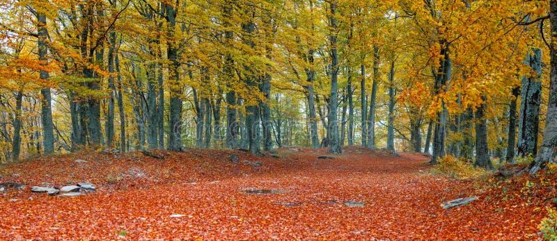 Beech trees stock image