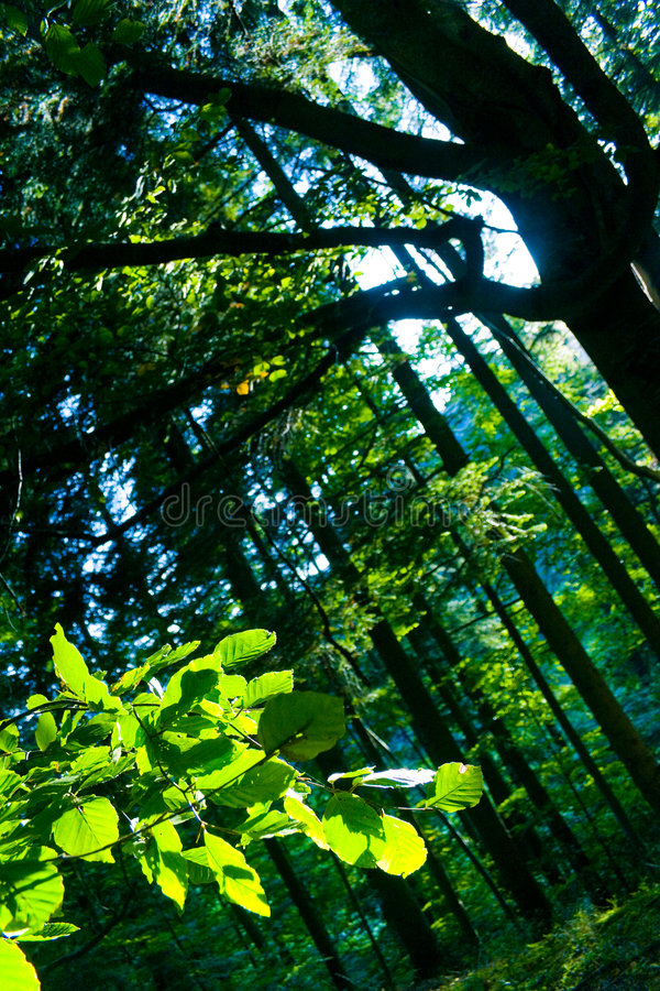 Beech Trees In Forest Royalty Free Stock Image