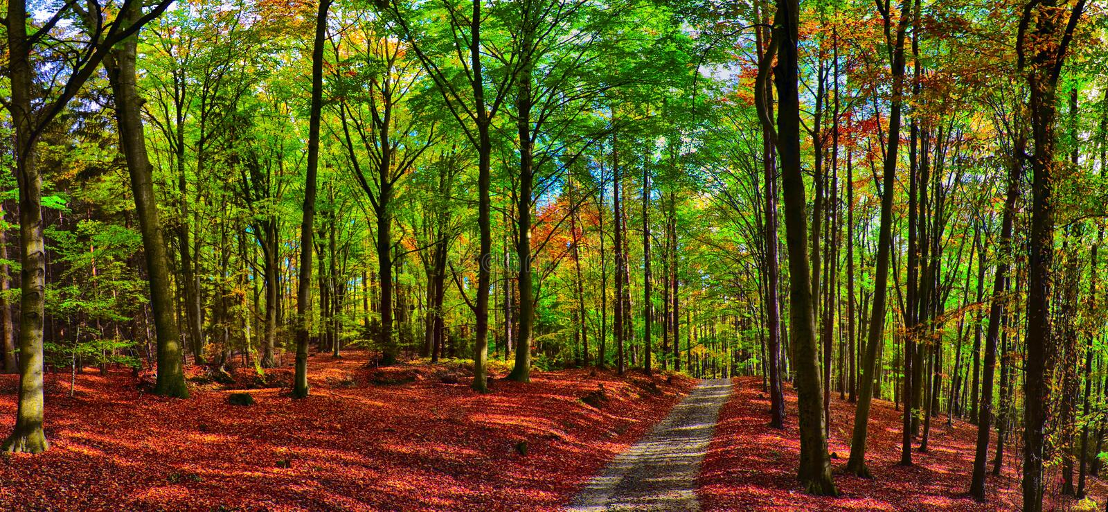 Beech trees forest/woodland with gravel road at autumn afternoon daylight. Broad leaf trees,forest floor,foliage, green leafs.HDR panoramic photo. Red, yellow royalty free stock photos