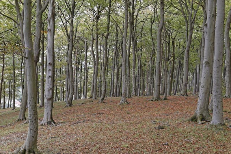 Beech trees. Image of beech trees taken in Sharpenhoe clappers, Sharpenhoe, Bedfordshire, england stock photography
