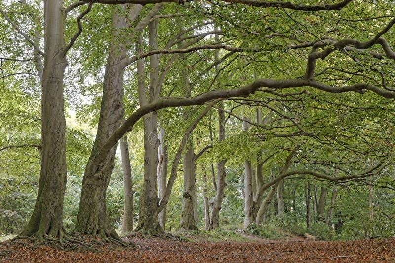 Beech trees. Image of beech trees taken in Sharpenhoe clappers, Sharpenhoe, Bedfordshire, england stock image