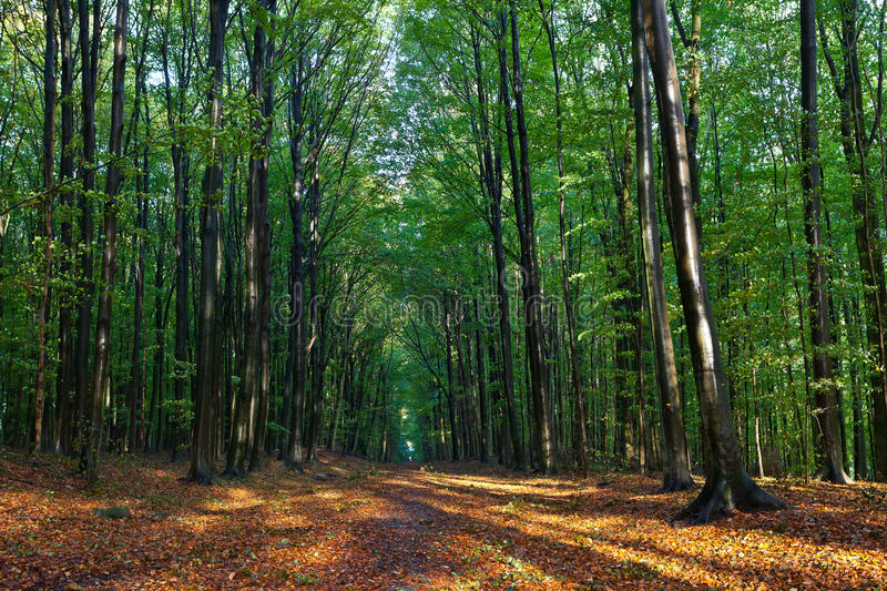 Beech trees leaves woods autumn royalty free stock image