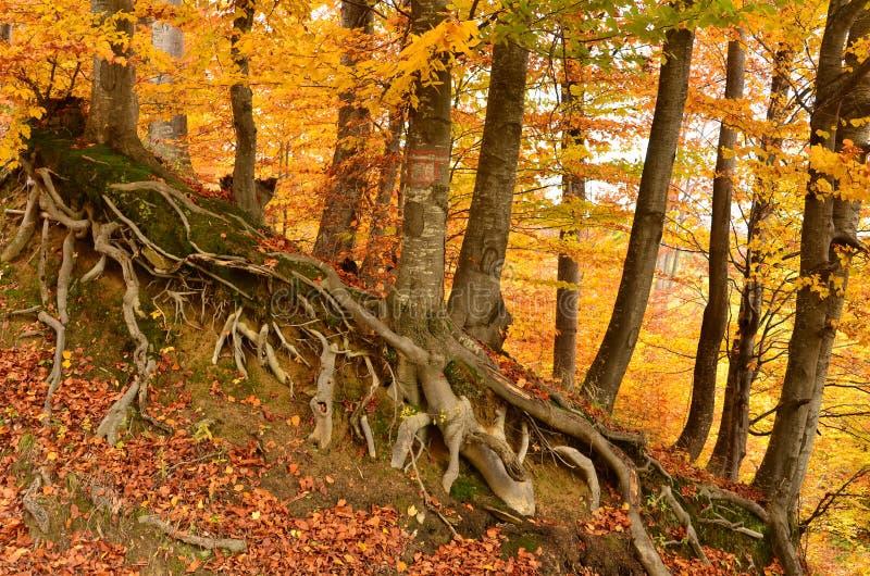 Beech trees roots stock photo