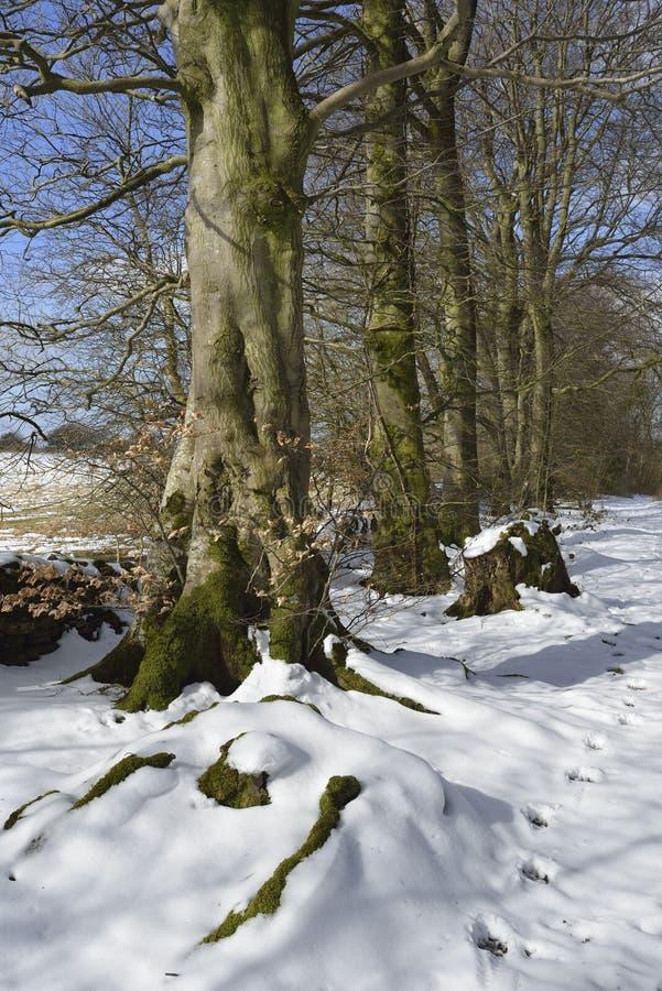 Beech Trees in Snow. Charterhouse, Mendip Hills stock photography