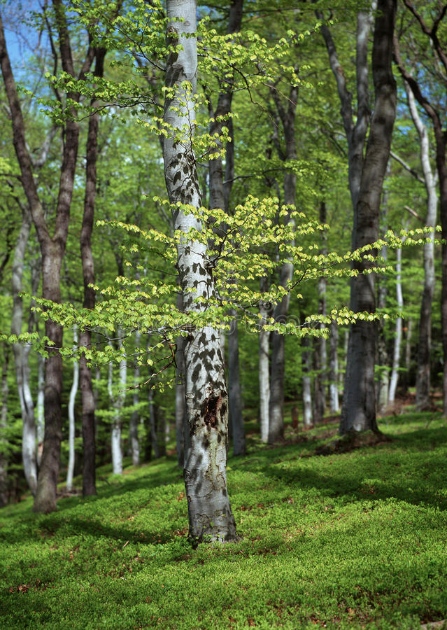 Download Beech trees in the spring stock photo. Image of tree - 14877944