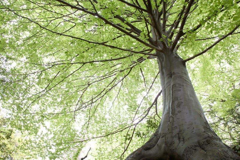 Beech trees during springtime royalty free stock photos