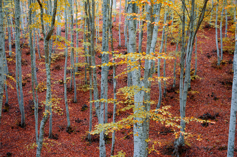 Beech trees. Beech tree trunks on beech forest during autumn royalty free stock photography