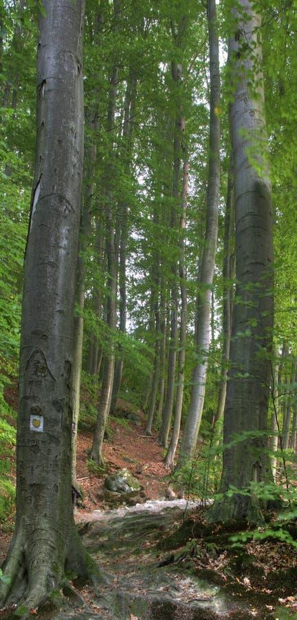 Beechen hout stock afbeelding