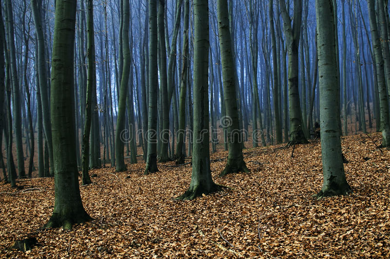 Beeches forest royalty free stock photo