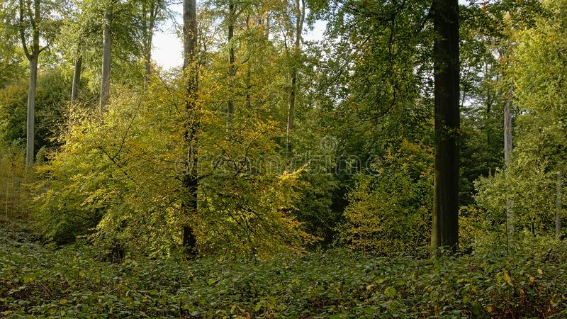 Beeches and oaks in the Sonian forest royalty free stock photo