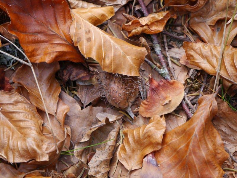 Beechleaves в осенних цветах с beechnuts стоковая фотография