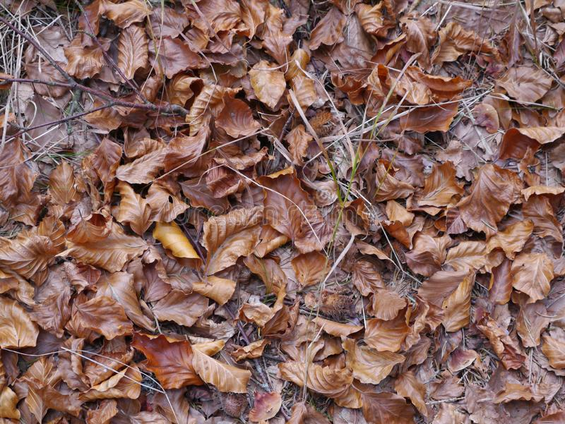 Beechleaves in autumnal colors with beechnuts. Brown beech leaves in autumnal colors with beechnuts on woodground royalty free stock photography