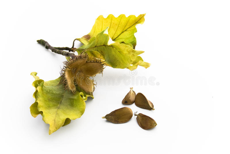 Download Beechnut With Leaves And Seeds Stock Photo - Image: 11229630