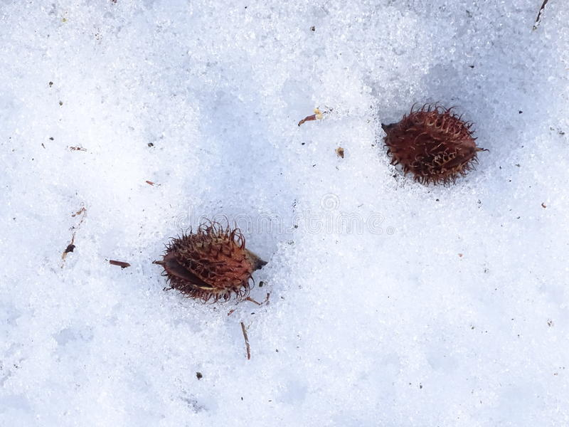 Beechnuts на снеге стоковое изображение rf