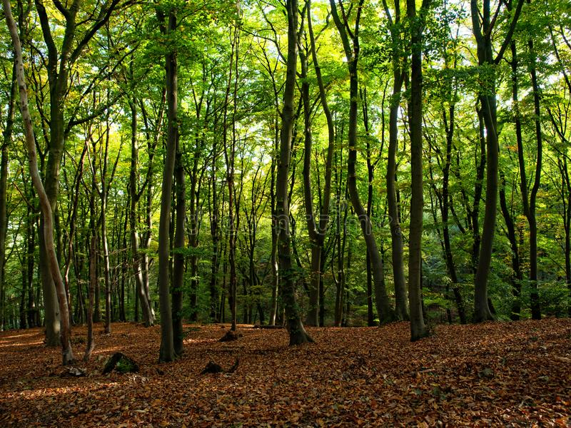 Beechwood forest on a sunny autumn day royalty free stock photography