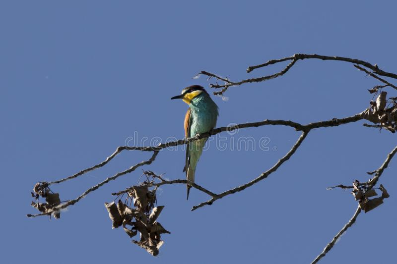 Beeeater on a branch. A european beeeater sitting on a branch in front of a clear blue sky royalty free stock images