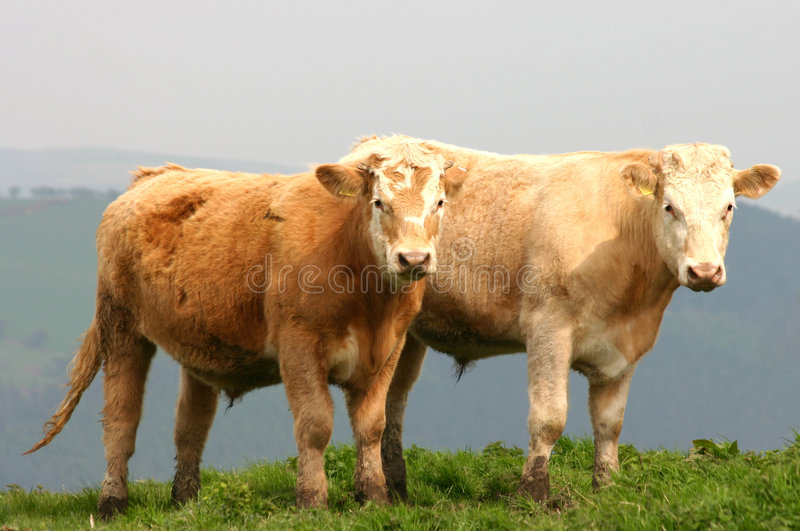 Beef Cattle. Two beef cattle on welsh hilltop gazing at camera royalty free stock photography