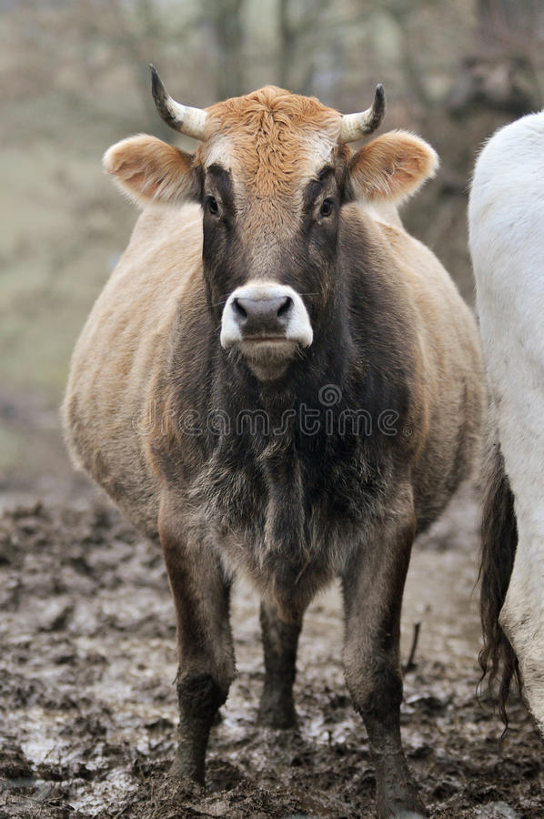 Beef cattle. In north Italy royalty free stock images