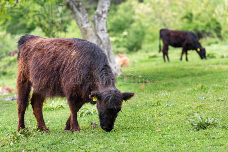 Beef cattle calves. Beef cattle calves in a new spring green field stock image