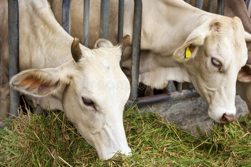 Beef Cattle Cow livestock in farm stock photography