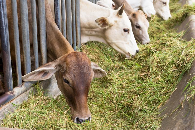 Beef Cattle Cow livestock in farm stock images