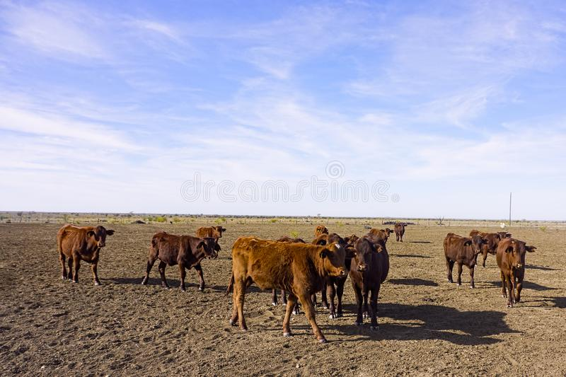 Beef cattle in drought parched paddock. A herd of beef cattle in dry paddock during drought season in western Queensland with negative space royalty free stock images