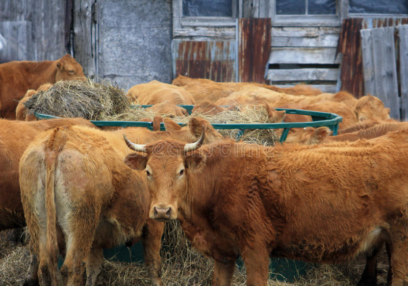 Brown Beef Cattle Farm Barn Farm. Brown Cows eating hay outside. Rustic barn in Background. horns royalty free stock image