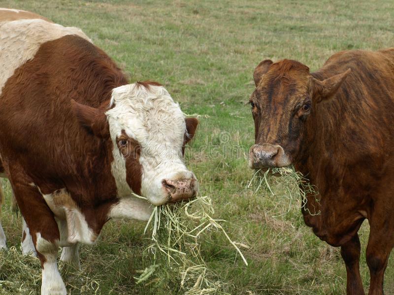 Beef Cattle Feeding. Beef cattle, hereford bull and brown cow eating hay royalty free stock images