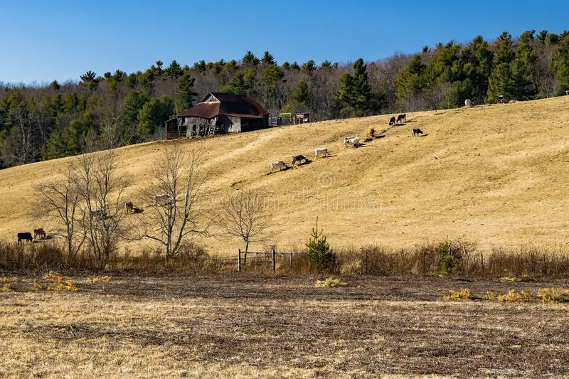 Beef Cattle Feeding on a Hillside. Located to the Blue Ridge Parkway, Floyd County, Virginia, USA stock photo