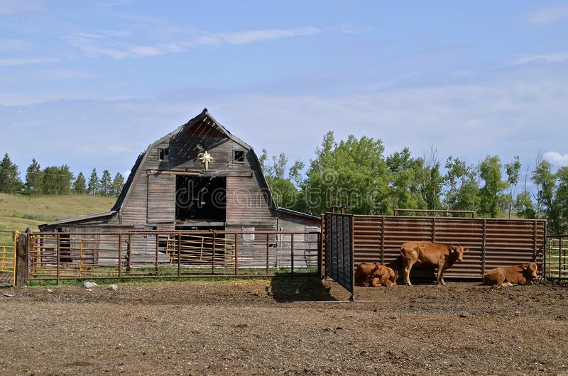 Beef cattle in front of an old rickety barn. An old rickety hip roofed barn with beef cows in the forefront royalty free stock photography