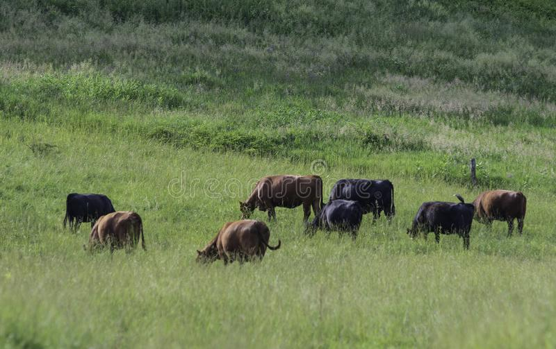 Beef cattle grazing tall grass in rural Appalachia stock photos