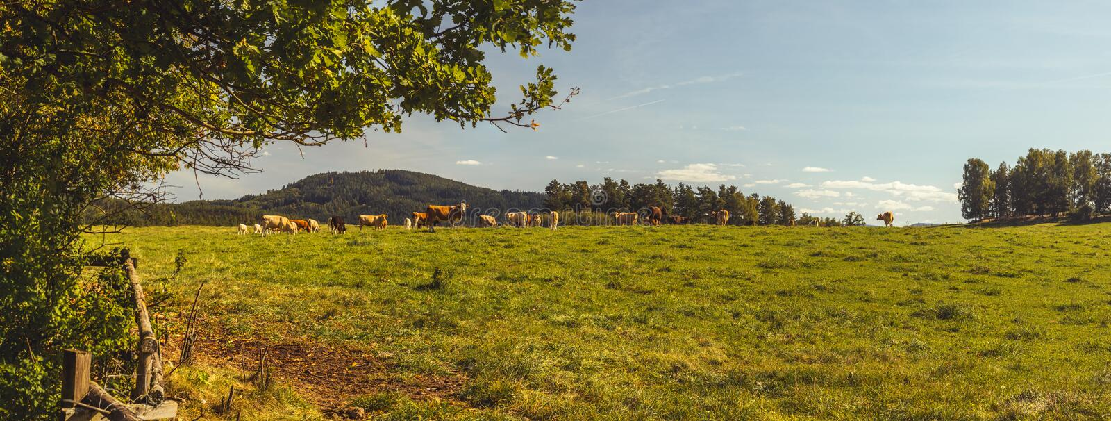 Beef cattle - herd of cows in the pasture in hilly landscape stock image