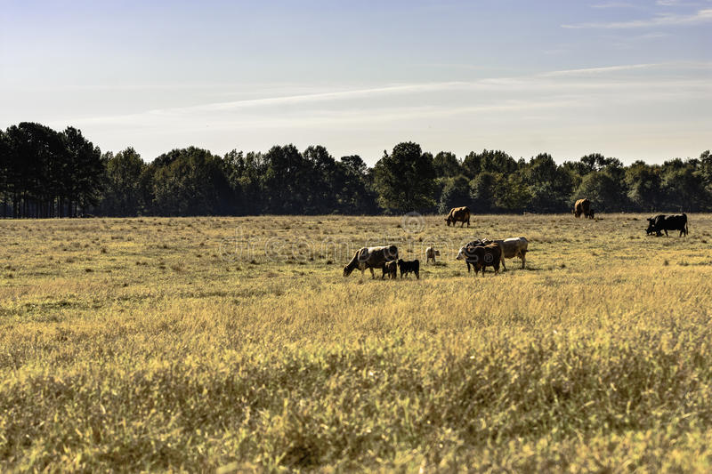 Beef cattle herd in dormant pasture. Commercial beef cows and calves in a dormant, brown pasture in November stock photo