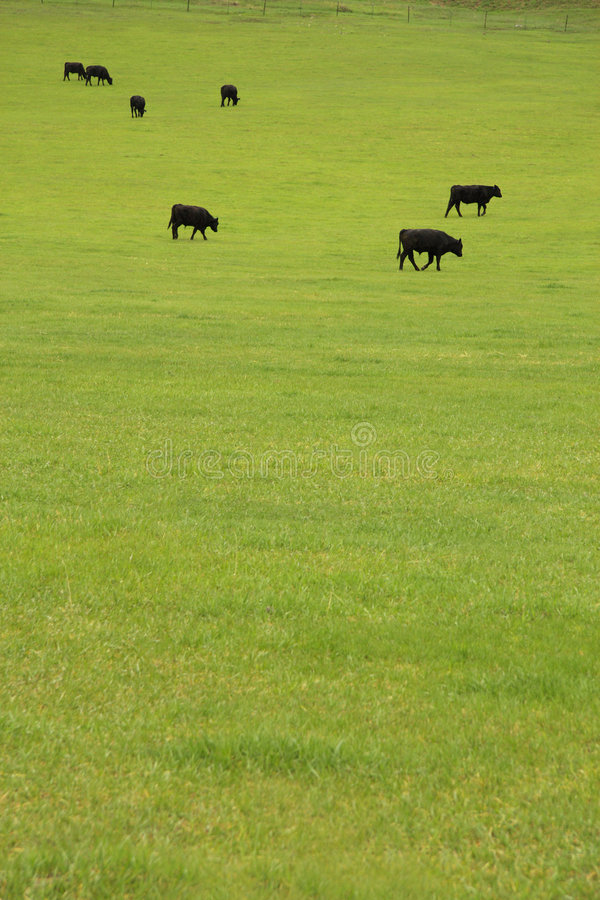 Beef Cattle in Pasture. Black Angus beef cattle grazing in a lush pasture stock image