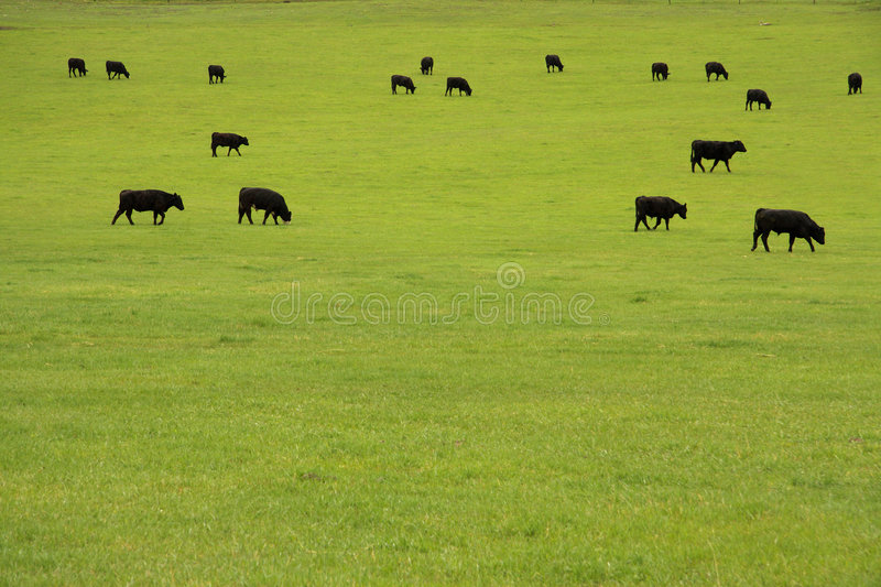 Beef Cattle in Pasture. Black Angus beef cattle grazing in a lush pasture royalty free stock image