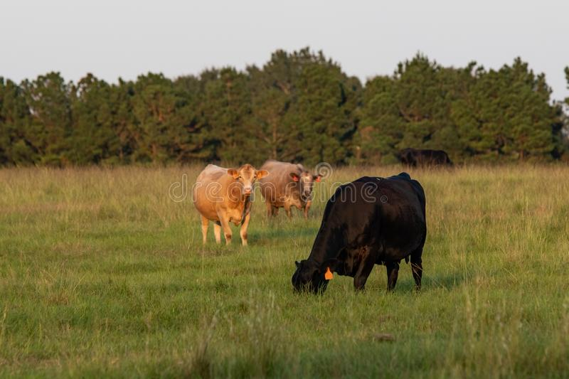 Beef cattle in a pasture of tall bermudagrass. A herd of crossbred beef cows in a tall bermudagrass pasture in late summer royalty free stock photography