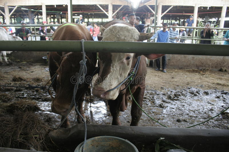 Beef Cattle Ready to Sell. Cow cattle weighing up to tens of tons of ready to sell from Klaten royalty free stock photography