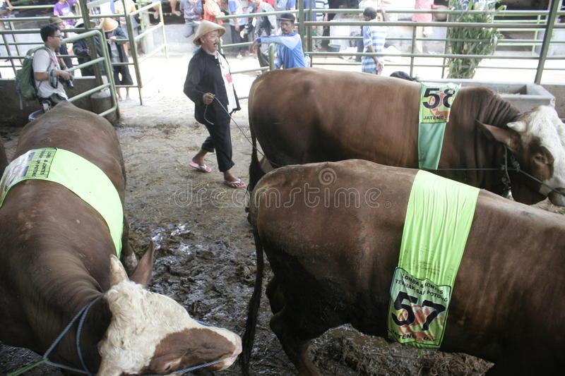 Beef Cattle Ready to Sell. Cow cattle weighing up to tens of tons of ready to sell from Klaten royalty free stock photo