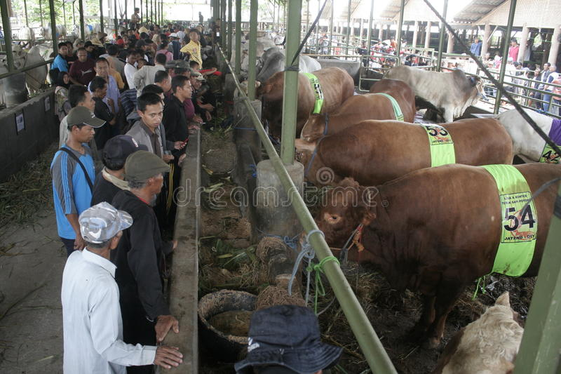 Beef Cattle Ready to Sell. Cow cattle weighing up to tens of tons of ready to sell from Klaten royalty free stock photos