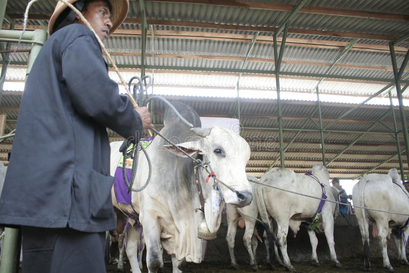 Beef Cattle Ready to Sell. Cow cattle weighing up to tens of tons of ready to sell from Klaten stock images