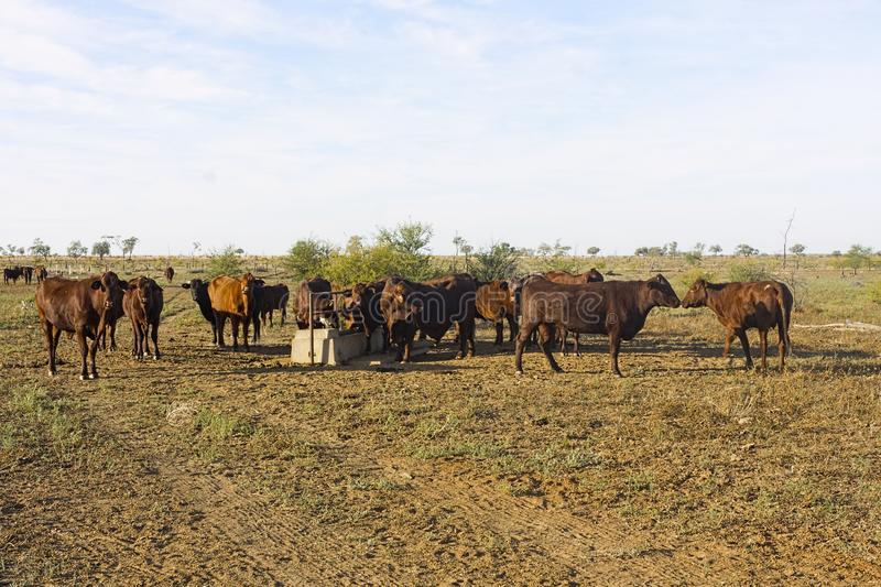 Beef cattle at water trough. In dry paddock in western Queensland, Australia royalty free stock photos