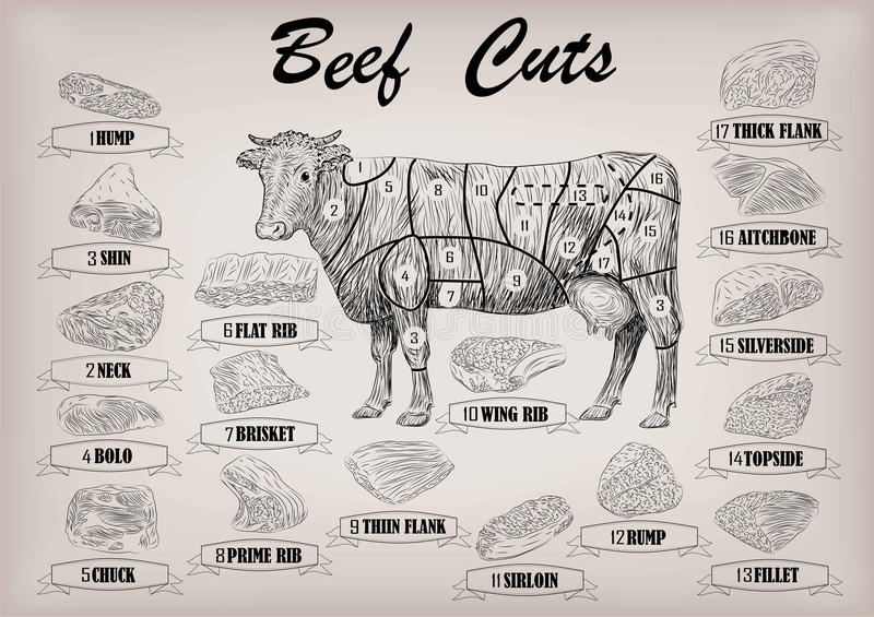 Beef cow bull whole carcass cuts cut parts infographics scheme s. Ign signboard poster butchers guide: neck, chunk, brisket fillet rump. Vector beautiful royalty free illustration