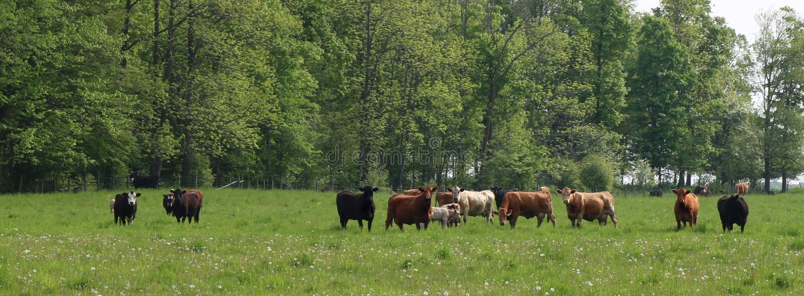 Beef cows with their calves in the spring meadow. Herd of variety of breeds and colors of beef cows with their calves in the field stock photography