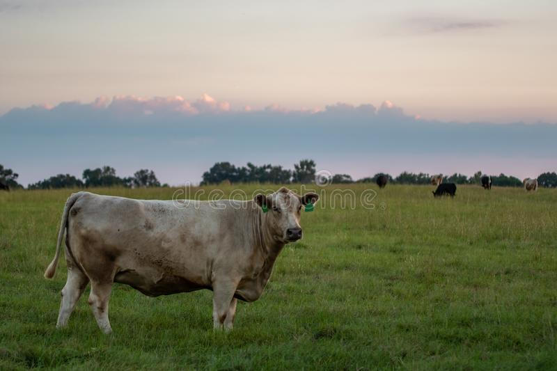 Beef herd in pasture at dusk. White crossbred beef cow standing in a green pasture with other cows in the background during blue hour of dusk stock image